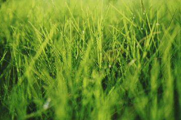 græsplæne
